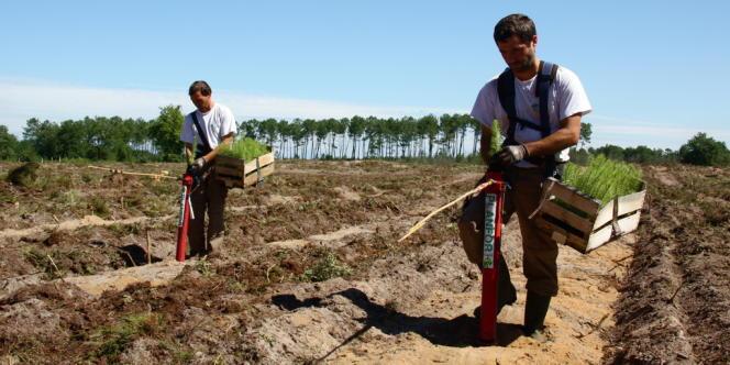 Une équipe de planteurs reboise une parcelle à Labrit, dans les Landes.