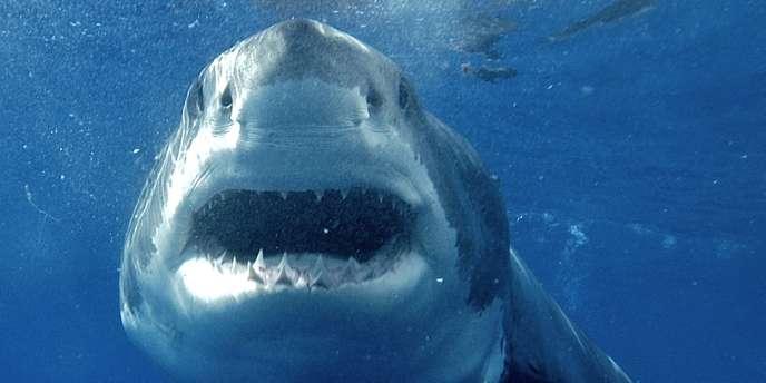 Les requins blancs sont l'espèce la plus particulièrement ciblée par le gouvernement d'Australie-Occidentale.