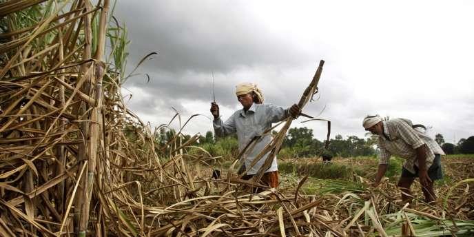 Un champ de canne à sucre, au sud-ouest de Bangalore, en Inde, le 6 août.