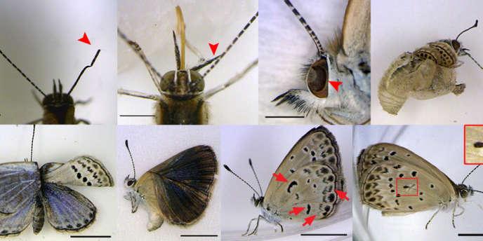 Des papillons irradiés autour de Fukushima présentant des anomalies morphologiques.