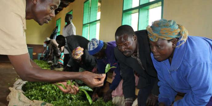 Les feuilles de thé sont inspectées et triées avant d'être vendues aux enchères, comme ici à Mombasa, principal lieu d'échange au monde.