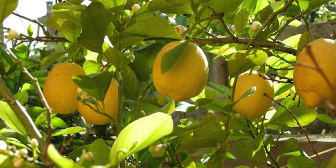 Buenos Aires affirme ne pas avoir été en mesure d'exporter des citrons vers les Etats-Unis depuis 2001.