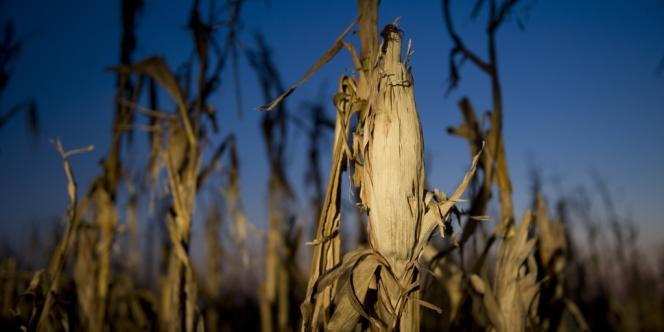 Épis de maïs victimes de la sécheresse historique qui sévit actuellement aux Etats-Unis.