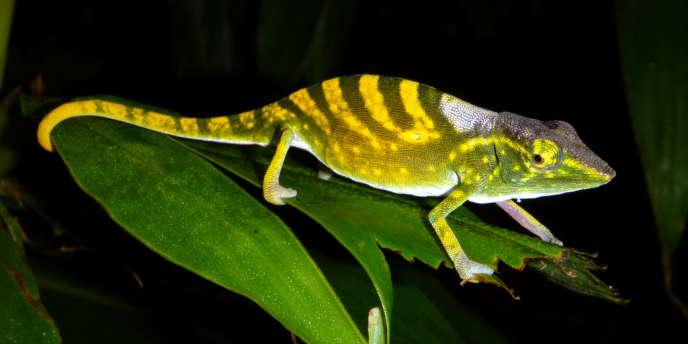 Le caméléon de Tarzan figure sur la liste rouge des cent espèces les plus menacées en 2012.