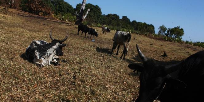 Un troupeau de zébu de le sud de Madagascar, début septembre 2012.