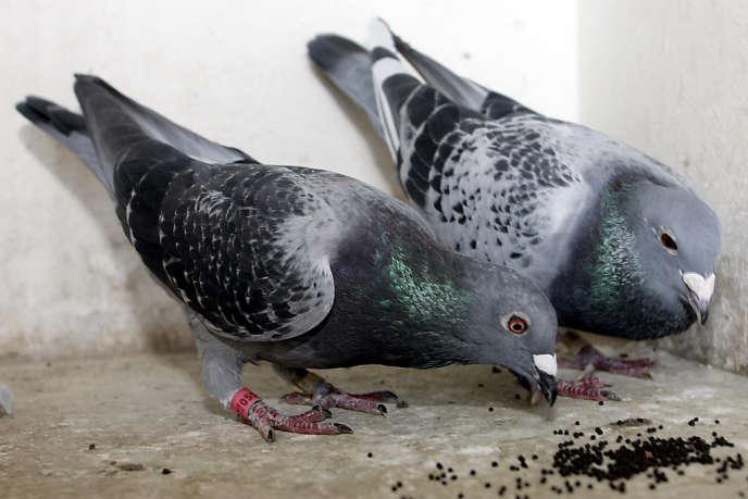 En une année, chaque pigeonnier contraceptif permettrait d'éliminer 500 En un an, 500 œufs seraient ainsi éliminés dans chaque pigeonnier