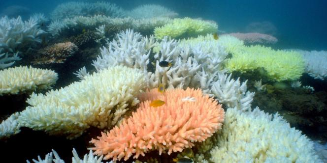 Par endroit, la Grande Barrière de corail a blanchi sous l'effet du réchauffement climatique.