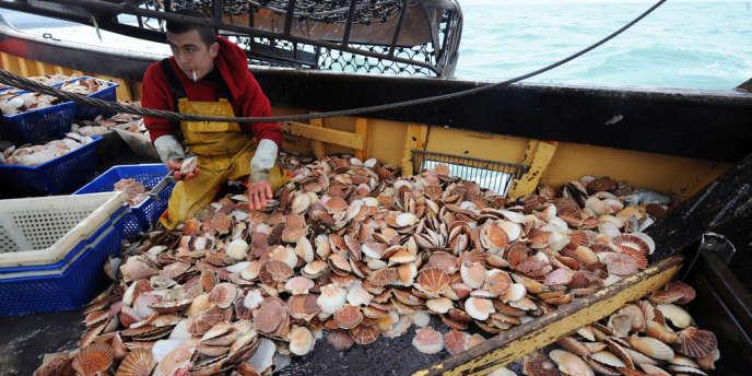 Pêche à la coquille Saint-Jacques à Saint-Brieuc.