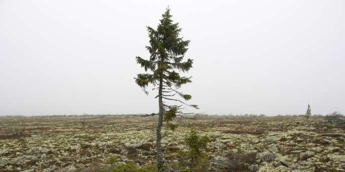Le «plus vieil arbre du monde», à Fulufjället, dans le sud de la Suède, serait âgé de 9500ans.