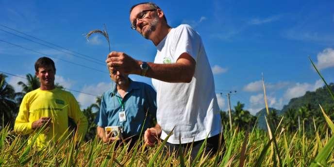 Achim Dobermann, le patron de l'Institut international de recherche sur le riz (IRRI), avec deux autres ingénieurs agronomes dans un champ expérimental à Los Banos, aux Philippines.