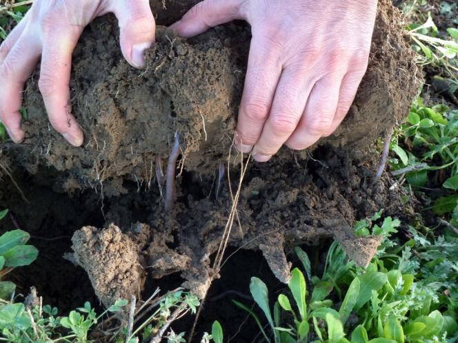 Philippe Pastoureau cultive depuis dix-sept 90 hectares en polyculture dans la Sarthe, en faisant travailler les vers de terre au lieu du labour. Ici, à Thouars, l'exploitation de Vincent Baron, qui a choisi le même procédé naturel.
