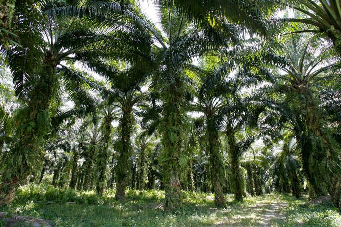 Palmiers à huile.
