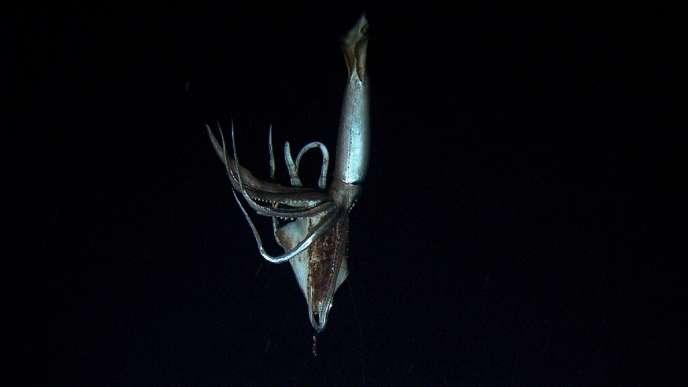 La NHK a diffusé des images du calamar, dont le seul corps a été évalué à trois mètres de long.