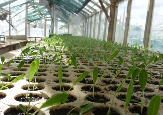 A Saint-Laurent-le-Minier (Gard), le CNRS de Montpellier travaille au développement de plantes qui absorbent par leurs racines les métaux lourds et polluants contenus dans les sols. Reste pour les chercheurs à découvrir comment revaloriser ces plantes devenues à leur tour toxiques.