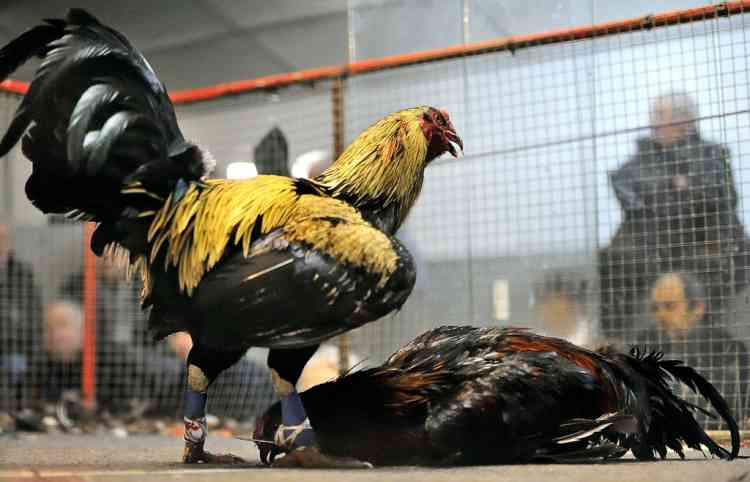 People attend a cock fighting on January 13, 2013 at a cockfight arena in Saint-Amand-les-Eaux, northern France. AFP PHOTO / PHILIPPE HUGUEN