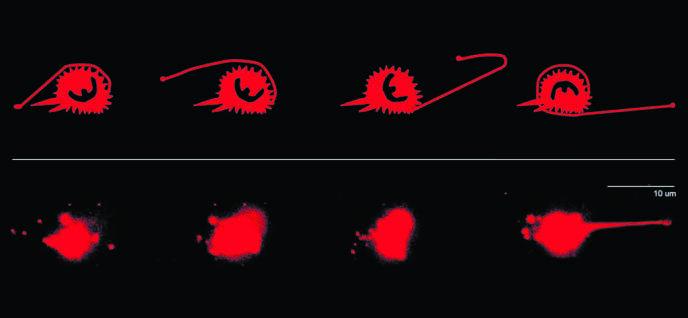 Grâce à une technique de nanoscopie, l'équipe de Prithu Sundd, à La Jolla (Californie), a filmé le parcours de neutrophiles de souris dans une veinule artificielle. Pour se déplacer, ces cellules immunitaires projettent un tentacule qui adhère fermement à la paroi des vaisseaux, puis s'enroulent autour.