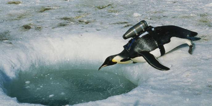 Antarctique : un manchot empereur transformé en caméraman pour les besoins d'un documentaire de National Geographic, grâce à un système imaginé par le biologiste marin Greg Marshall.
