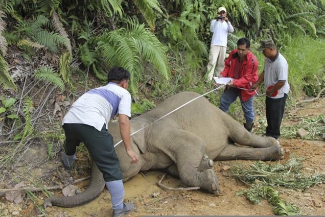 Des agents du service malaisien de la faune sauvage inspectent la carcasse d'un éléphant pygmée à Bornéo, le 23 janvier.