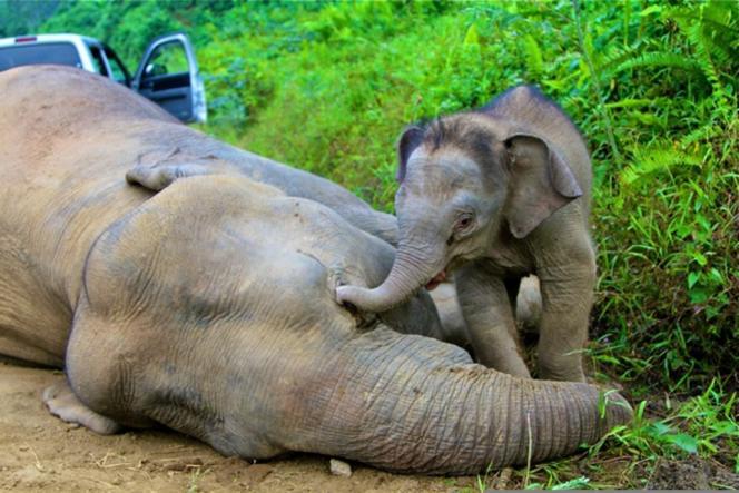 Un éléphanteau pygmée se tient à proximité de sa mère, empoisonnée sur l'île de Bornéo.