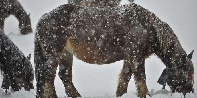La Roumanie compte environ 630 000 chevaux, utilisés principalement pour le trait.