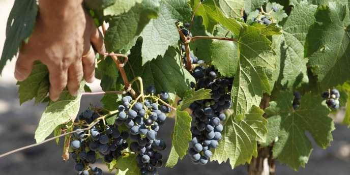L'exposition aux pesticides fait courir des risques aux salariés viticoles et aux riverains.