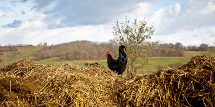 Un coq dans la ferme de Christophe Masson, dans le Gers.
