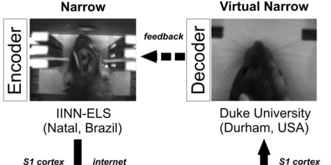 Le premier rat, hébergé au Brésil, a pu envoyer des signaux cérébraux pour guider son congénère, situé dans un laboratoire américain.