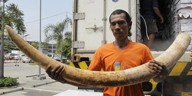 Bangkok, en 2011. Un Thaïlandais transporte une défense d'éléphant africain.
