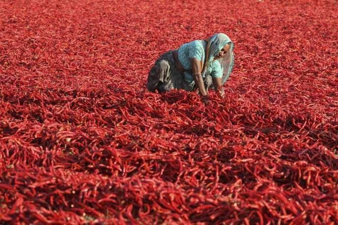 Une agricultrice indienne étend des piments rouges au soleil près d'Ahmadabad, le 19 février 2013.