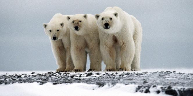 Le commerce international de l'ours polaire ne sera pas interdit.