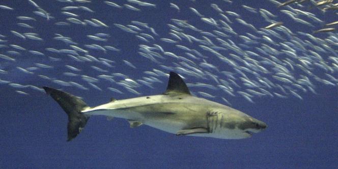 Le grand requin blanc, dont certains spécimens atteignent 5mètres de long, pèse en moyenne 1,3tonne.