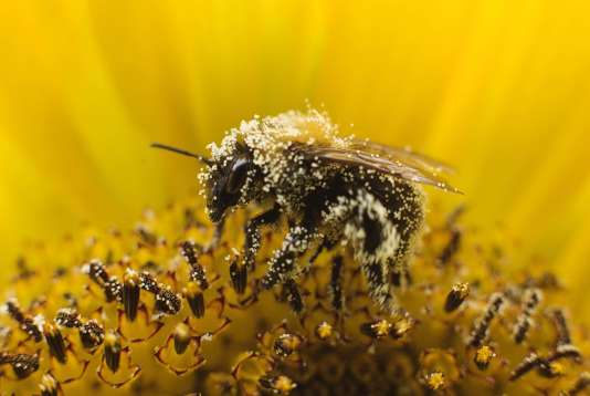 Les abeilles connaissent depuis plusieurs années des taux de mortalité anormaux partout dans le monde.