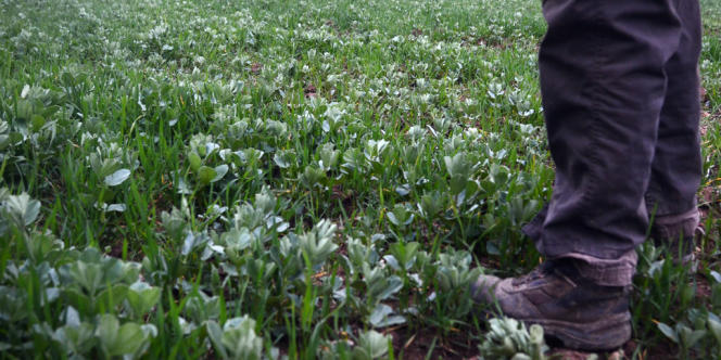 Assemblage de pois et d'orge dans un champ du GAEC, groupement agricole d'exploitation en commun, Ursule.