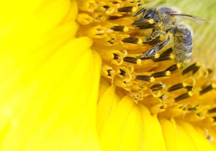 Une butineuse dans une fleur de tournesol.