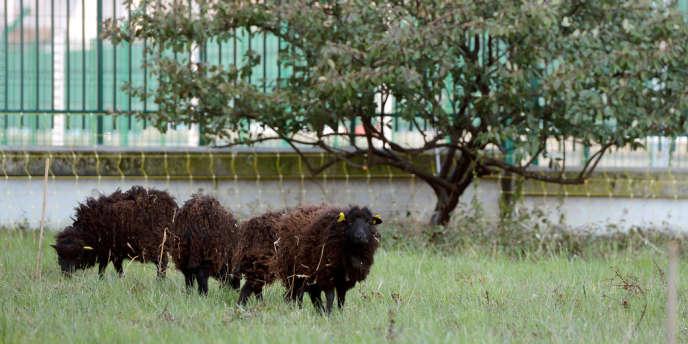 557e9f1766a Des moutons pour tondre en ville
