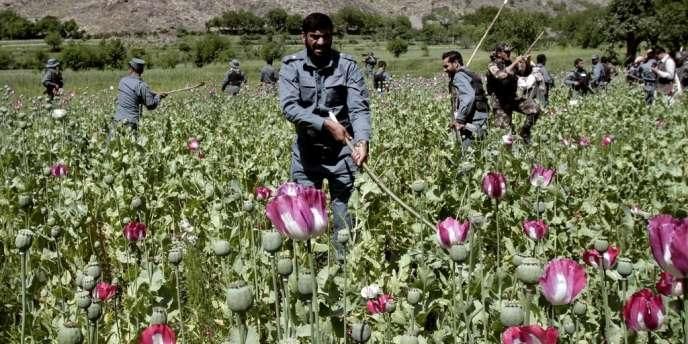 Des oliciers afghans détruire un champ d'opium dans le Noorgal, province de Kunar, à l'est de Kaboul en Afghanistan, le samedi 13 Avril 2013.