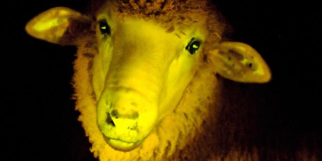 Un mouton phosphorescent né en Uruguay dont l'ADN a été génétiquement modifié, pour briller sous une lumière ultraviolet. L'image, prise le 5 avril 2013, a été publiée par l'Institut de reproduction animale d'Uruguay le 24 avril.