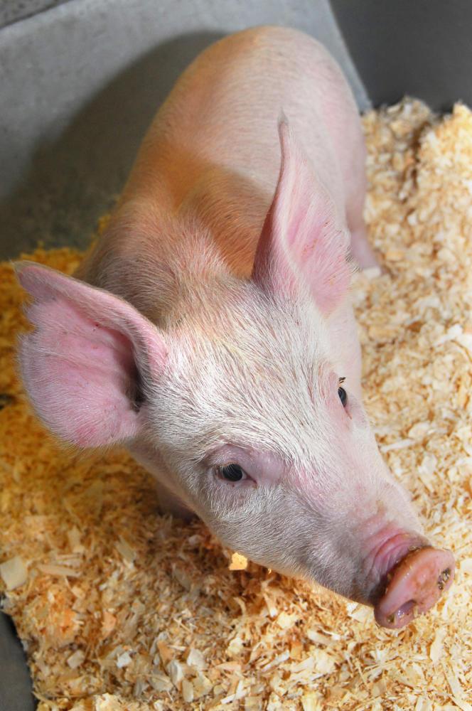 Né en août 2012, Pig 26 est porcinet génétiquement modifié par le Roslin Institute d'Edimbourg, pour résister à la peste porcine africaine.