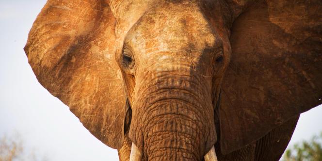 Un éléphant au Kenya.