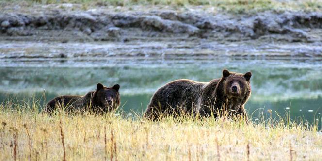 La dizaine de grizzlys qui vivent dans le parc national ont changé leur régime alimentaire depuis les années 2000.