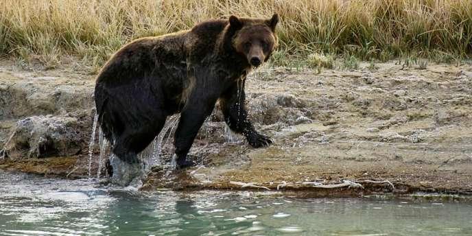 La fragmentation de l'habitat est inquiétante pour le futur des ours et des grands carnivores dans le massif, indique le WWF.