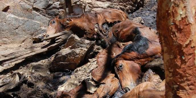 L'agence gouvernementale Central Land Council estime que l'abattage est rendu nécessaire par la prolifération de ces chevaux qui manquent d'eau, de nourriture et agonisent, tandis que les espèces indigènes, qui dépendent des mêmes points d'eau que ces chevaux, sont elles aussi menacées.