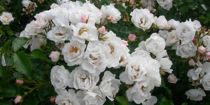 La rose Starck.