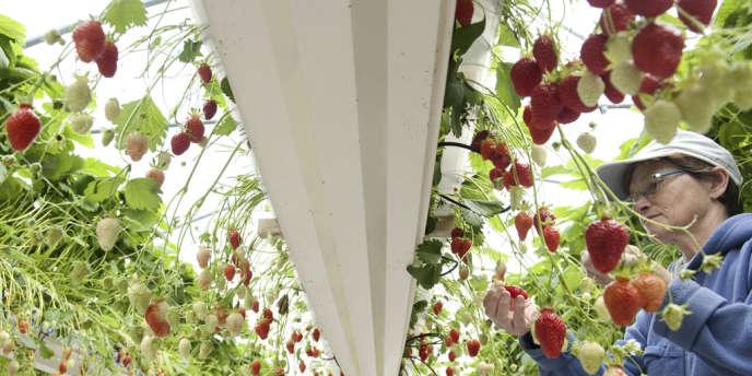 Le cap du million d'hectares cultivés en bio en France a été franchi en 2012, ce qui ne représente encore que 3,7 % des terres agricoles dans l'Hexagone. Ici, une récolte de fraises à Trélévern, dans les Côtes-d'Armor, en juin 2012.