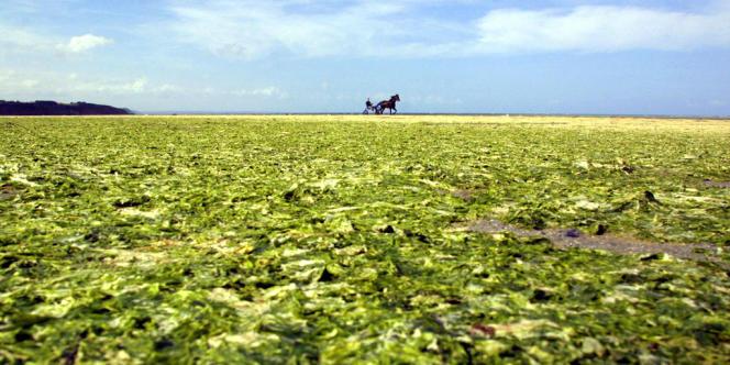 La prolifération des algues vertes sur la plage de Hillion (Côtes-d'Armor) s'explique par la pollution des eaux chargées en nitrates dont sont responsables les déjections porcines.