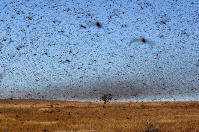 Essaim de criquets migrateurs près de Sakaraha, dans le sud-ouest de Madagascar, en avril 2013.