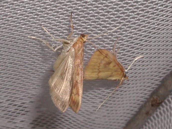 Certains papillons de nuit produisent des ultrasons similaires à ceux des chauves-souris, pour séduire leur femelle.