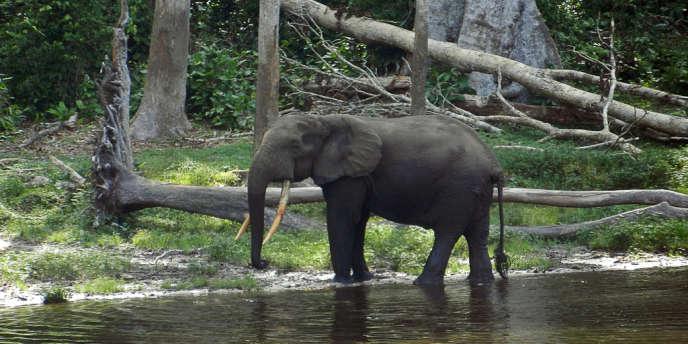 Il reste environ 500 000 éléphants en Afrique, plus de 20 000 étant tués chaque année.