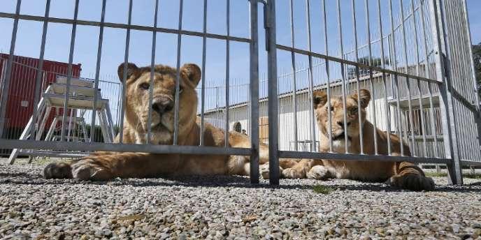 Des lions dans le cirque de Frederik Rosel à Sainte-Livrade-sur-Lot, en France, en avril.