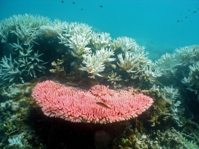 Un récif corallien blanchi, dans la Grande barrière de corail, en Australie.